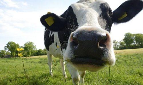 Latte non molisano in Molise: il nodo è la trasformazione economica del territorio