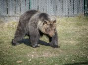 Parco, addio all'orsa Lauretta, aveva 25 anni
