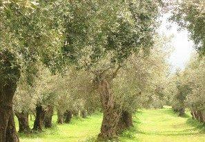 Le vie degli ulivi, dei paesaggi e dei sapori del Molise